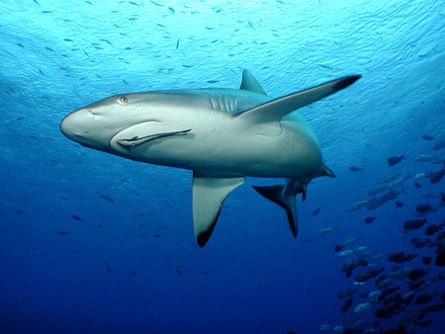 If a reef has lots of big fish, including reef sharks (shown), that's a good sign that the reef is healthy and doing well.