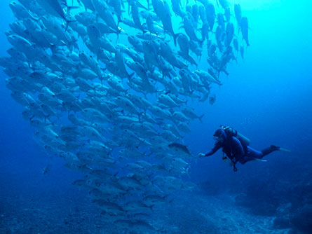 In protected marine reserves like Namena, between the two main islands of Fiji in the South Pacific Ocean, scuba divers can swim through massive schools of huge fish like these trevallies.