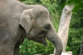 From Mammoth To Modern Elephant Science News For Students