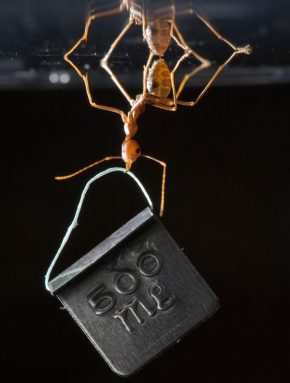 This Asian weaver ant can dangle a weight more than 100 times heavier than itself without losing its grip on the surface above it. Credit: © Thomas Endlein