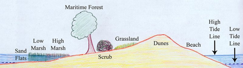 This cross-section of a typical barrier island shows the land and plant types running from the ocean side (far right) to mainland side of the island (far left). Credit: Nat'l Park Serv.