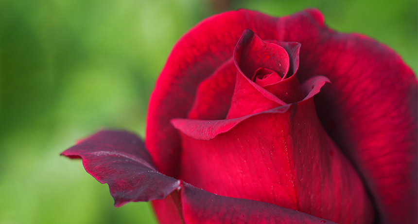 Secret To Rose Scent Surprises Scientists Science News For Students