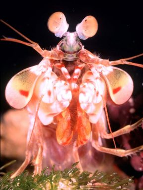 A mantis shrimp's eyes are mounted on stalks, making the animal look like a cartoon character. This Odontodactylus havanensis mantis shrimp lives in deeper water, including off the coast of Florida. Credit: Roy Caldwell