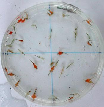 brine shrimp tapeworms