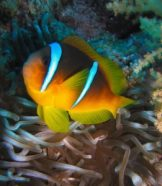 Changing ocean waters may change clownfish behavior in the future.