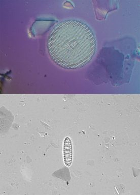 Scherer's group retrieved the round, artsy-looking diatom (top image) from Antarctica roughly 20 years ago. It dates back to the Pleistocene era, some time within the last million years. The diatom in the black-and-white image (bottom) was retrieved this year from Lake Whillans; it appears to have come from the Miocene era, around 8 million years ago. Credit: R. Scherer, Northern Illinois Univ.