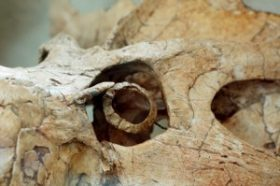 The eyes have it: The bony ring in the center of this Protoceratops, a plant-chomping dino, tells scientists it was active during the day and night. Credit: Ryosuke Motani and Lars Schmitz