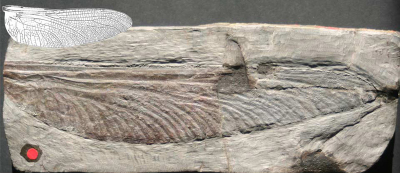 a fossil of a dragonfly wing