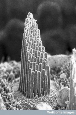 hair cell