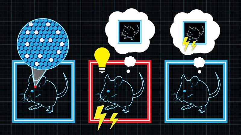 """Three steps to plant a fake memory in a mouse. First, let the mouse build a real memory of a safe room (left). Second, put the mouse in a room with an electrified floor. Shock the mouse — but add the memory of the shock to the memory of the first room. Third, put the mouse back in the safe room — which the mouse now incorrectly """"remembers"""" as dangerous. Credit: courtesy of Evan Wondolowski/Collective Next"""