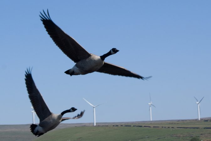 geese at wind turbines