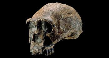 homo erectus jaw