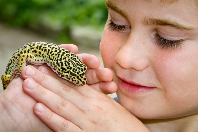 It's important to make wise choices when selecting pets, like this leopard gecko lizard. Amphibians, reptiles and small rodent pets can harbor bacteria called Salmonella. When children handle such pets and then fail to wash their hands, they risk getting Salmonella poisoning. Credit: iStockphoto