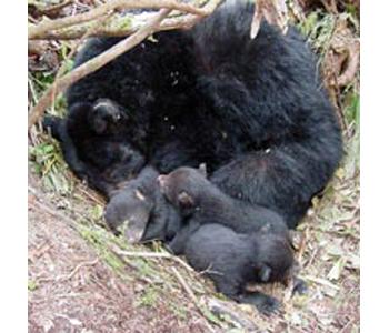 inline_300_Bear_hibernating.png