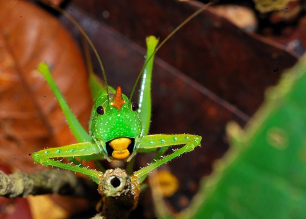 An orange-horn unicorn katydid brings a little festivity to the forest. Credit: Andrew Snyder