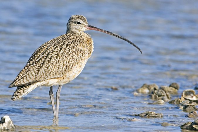 The long-billed curlew, here, is one of the birds found at Padre Island National Seashore. This barrier island sits off of the Texas coast. Managed by the National Park Service, its wilderness not only hosts plenty of birds, but also white-tailed deer, coyotes and nests of the Kemp's ridley sea turtle. Credit: aturespicsonline via Nat'l Park Serv.