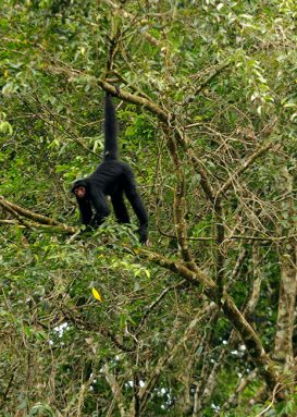 Mammals like this black spider monkey also call the forest home. Credit: Andrew Snyder