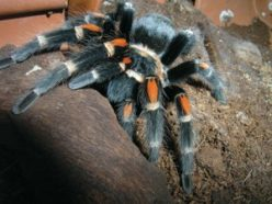 This is Fluffy, a Mexican flame-kneed tarantula. Scientists suspect spiders like Fluffy can shoot silk from their feet.