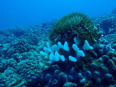 crown-of-thorn starfish