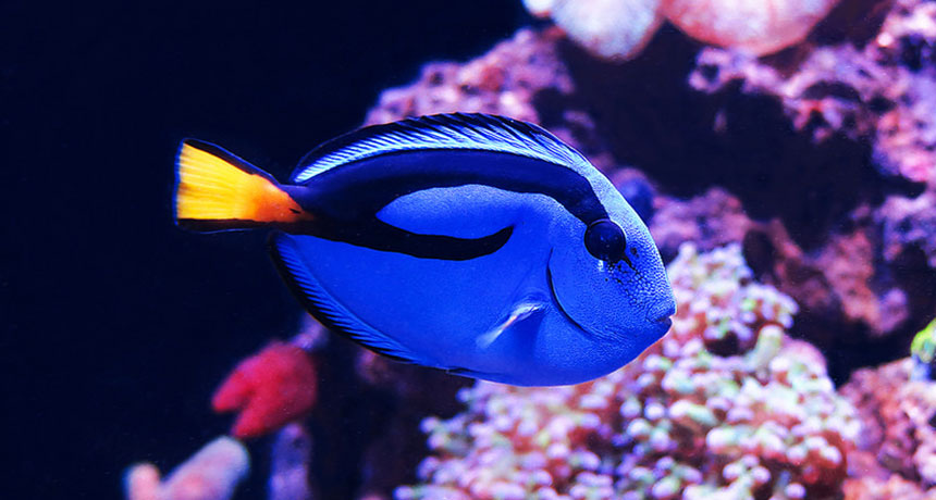 Catching 'Dory' fish can poison entire coral reef ecosystems ...