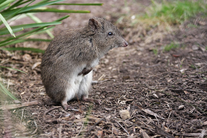 Northern long-nosed potoroo