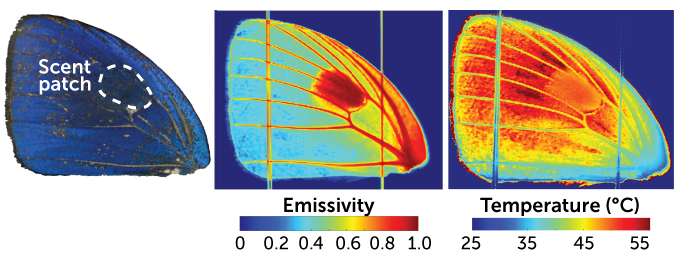 thermal imaging of butterfly wings