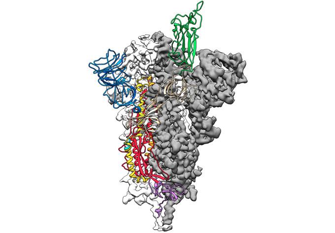 3-D structure COVID-19 coronavirus spike protein