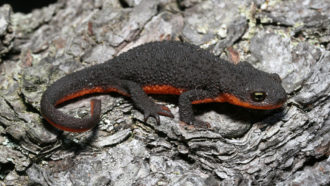 Toxic germs on its skin make this newt deadly