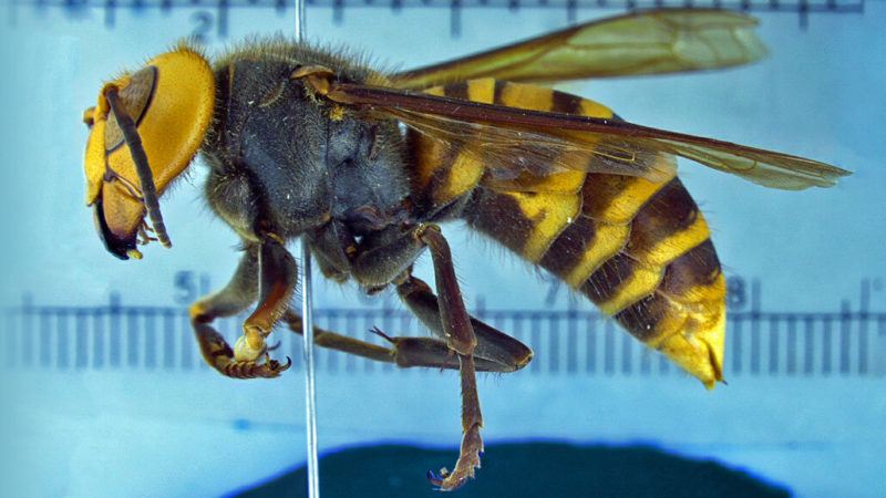 What you need to know about 'murder hornets' | Science News for Students