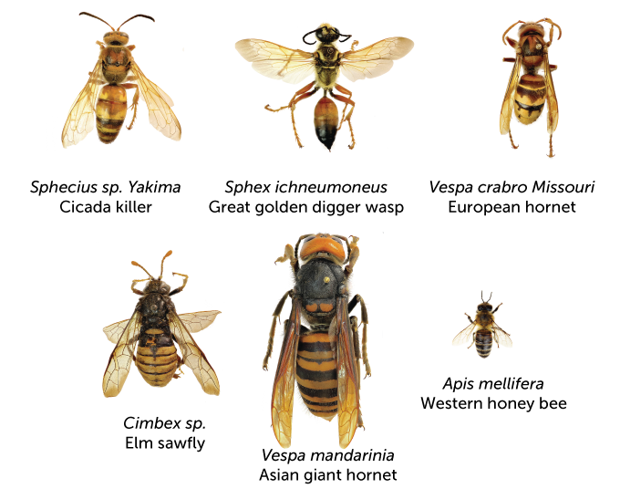 Wasps, hornets and bees size chart