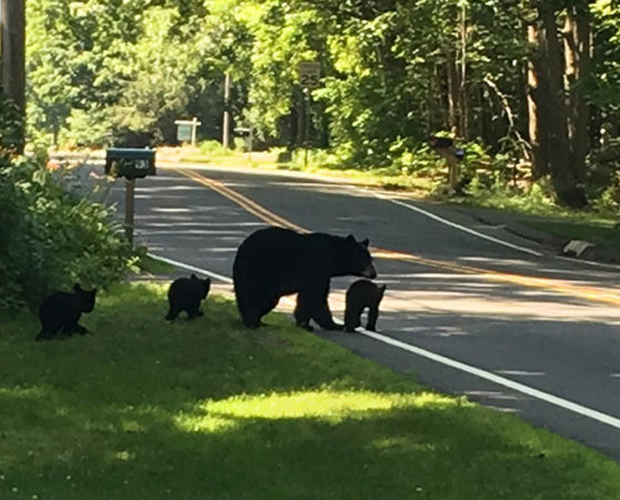 a mother bear with three cubs crossing a road