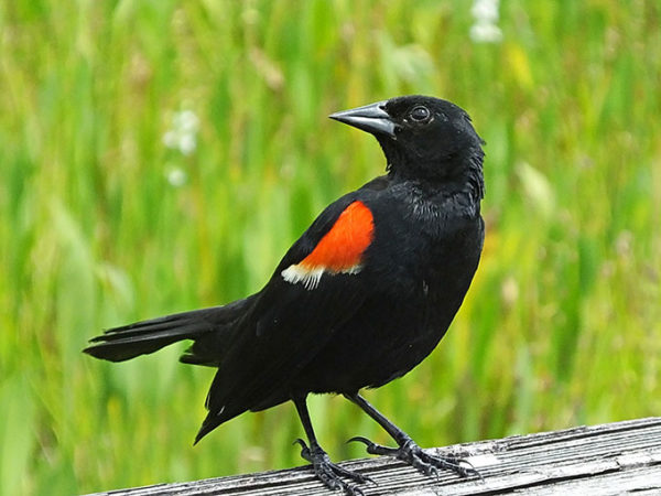 a photo of a red winged blackbird
