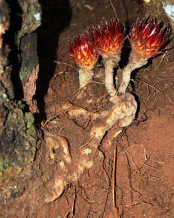 Langsdorffia hypogea parasite