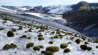 On an Alaskan glacier, little green moss balls roll in herds
