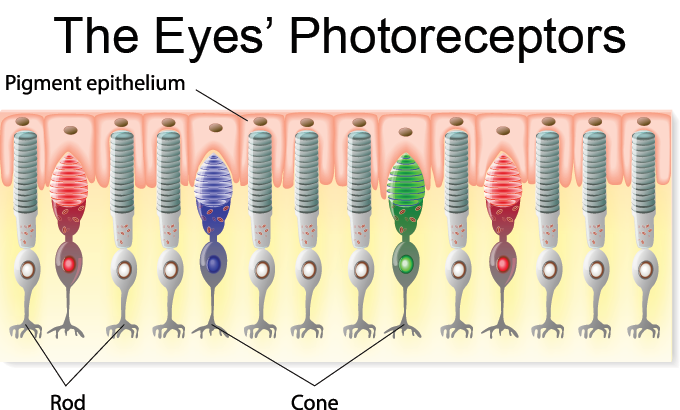 a diagram of the eye's photoreceptors