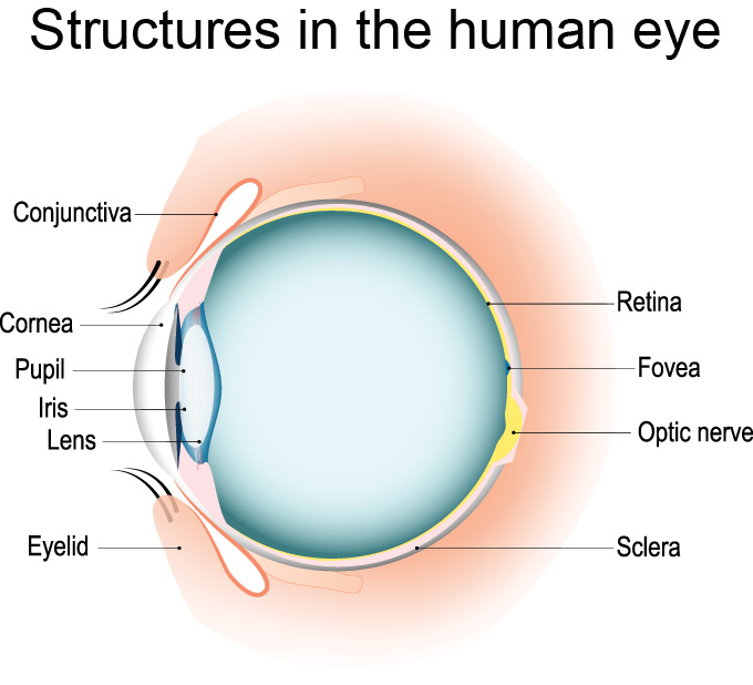 a diagram showing the structures of the human eye