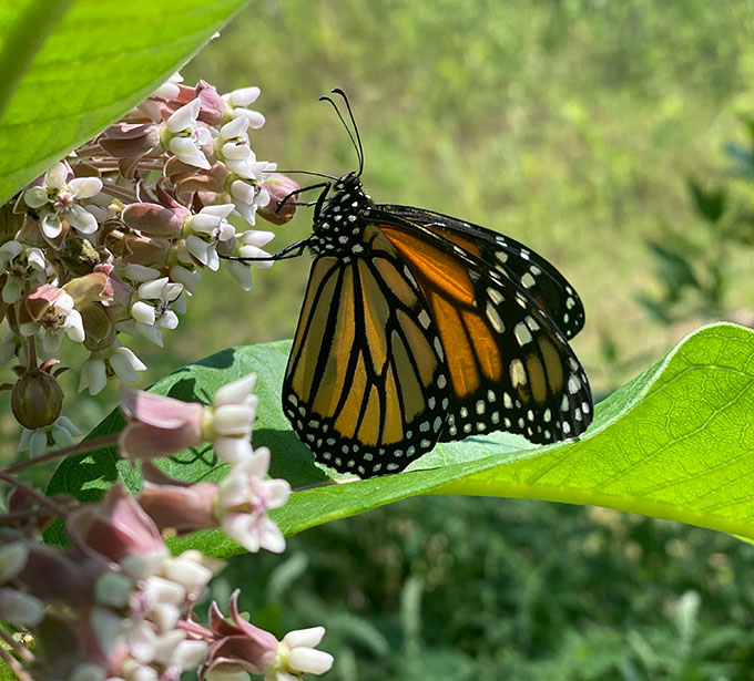 a female monarch butterfly drinking from a milkweed plant