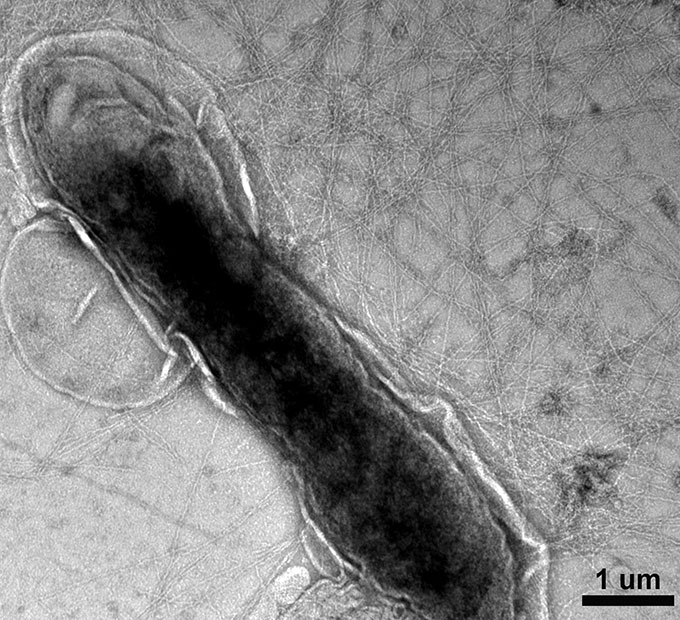 A black and white microscopic image of a Geobacter bacterium surrounded by a web of nanowires