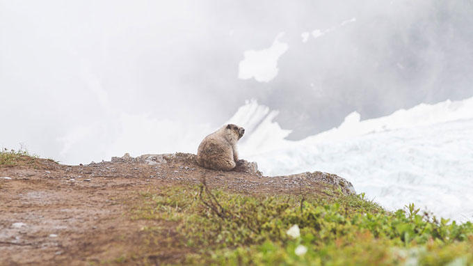 A beaver looks out over a range of rocks and ice in Alaska