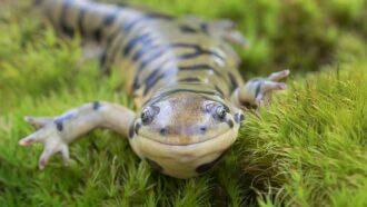 Scientists Say: Amphibian