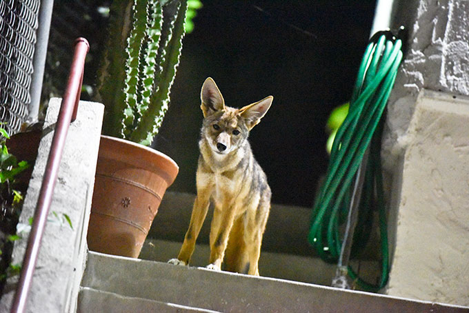 a coyote pup standing on some stairs