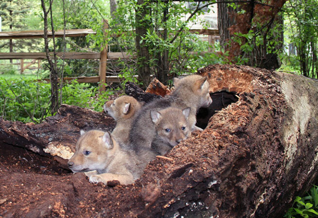 a pile of coyote pups on a rotting log in a suburban backyard