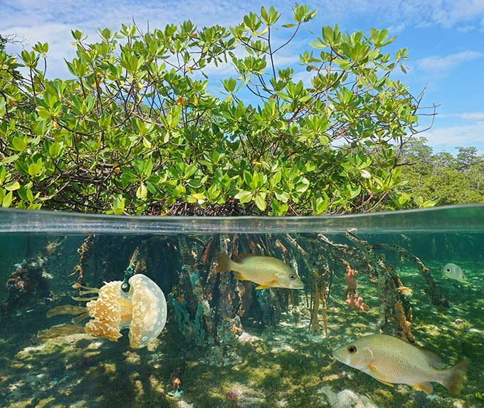 a photo of a mangrove underwater and abovewater