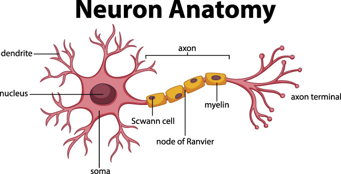 a diagram of a neuron