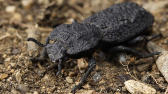 The diabolical ironclad beetle is nearly unsquishable