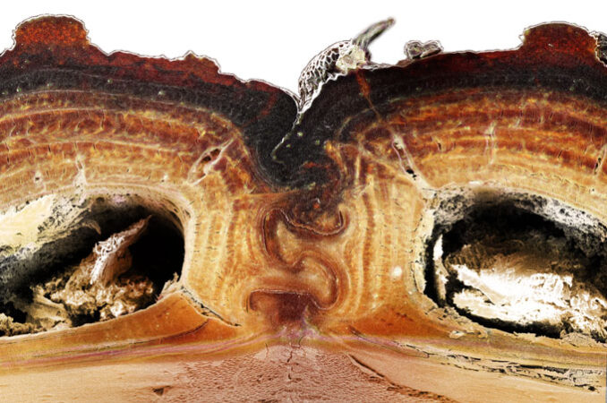 cross-section of a diabolical ironclad beetle's back