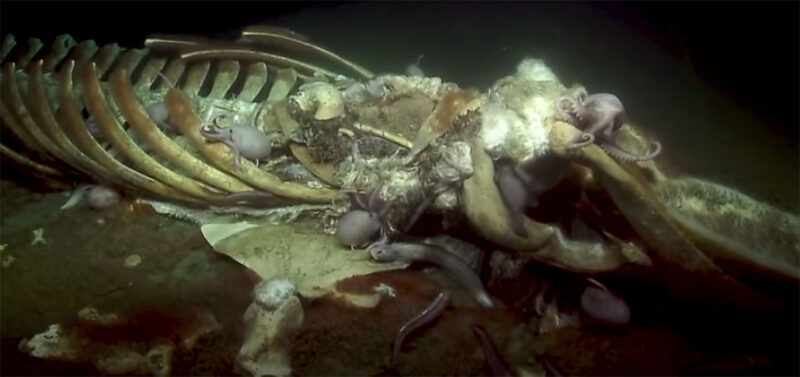 an image of a whale carcass being feasted on by bottom dwellers