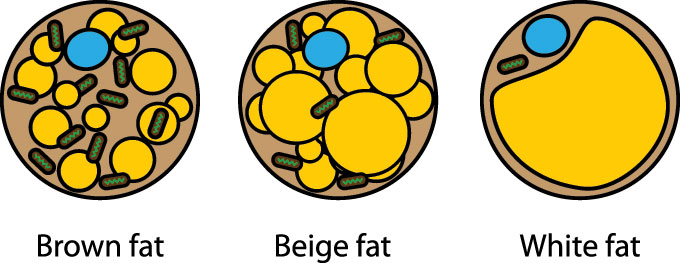 an illustration showing different kinds of fat cells
