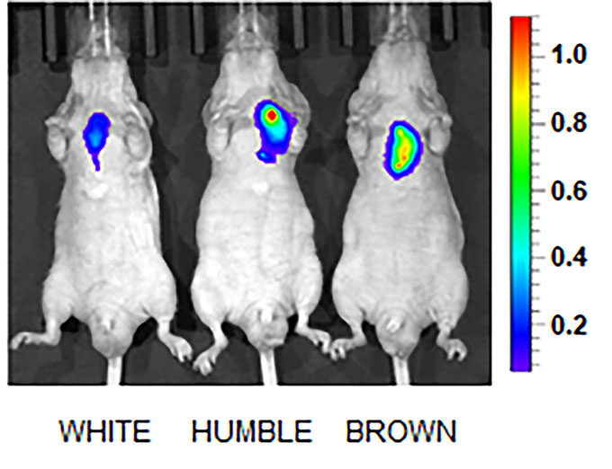 an image showing activity levels of the UCP1 gene in three different mice