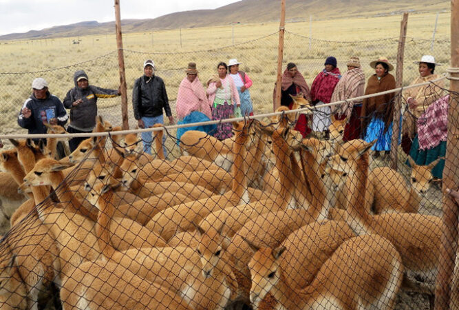 several people standing around a pen of wild vicuña